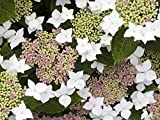 Hydrangea macrophylla 'Lanarth White'? 30cm Tall in 3L Pot, Lovely White Flowers 3fatpigs®