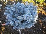 50 semillas del rbol de abeto azul de las semillas del rbol de hoja perenne Bonsai azul de Colorado (Picea pungens)