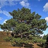 TENGGO Egrow 30 Piezas/Paquete Sylvestris Tree Semillas Pinus Sylvestris Tree Semente Planta Chinese Pinus Tree