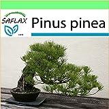 SAFLAX - Garden to Go - Pinos pioneros - 6 semillas - Con macetero de barro, platillo, sustrato para cultivo y fertilizante - Pinus pinea