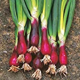 NIKA SEEDS - Vegetable Welsh Onion Red - 300 Seeds