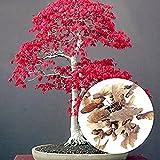 Acer palmatum - Arce japons - bonsai - 20 semillas