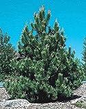 Semillas de Austria Pino, Pinus nigra, crece hasta 60 pies de alto, semillas de rbol de pino