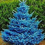 20 Piezas De Semillas, Adaptables Colorado Sky Blue Spruce Hardy Picea Pungens Glauca Tree Seeds