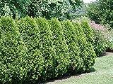 Americana de Tuya, Thuja occidentalis, semillas de rboles (Evergreen) Hedge 50pcs