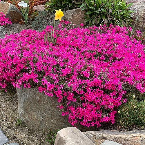 Keland Garten - 100pcs Raritäten Rotviolettblühendes Blaukissen Blütenwiesen Bodendecker, Immergrüne Staude, Blumensamen winterhart mehrjährig für den Garten und Balkon