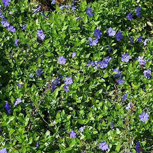 Vinca minor immergrüner Bodendecker winterhart 5-7 Triebe pro Topf violett blau (30 Stück)