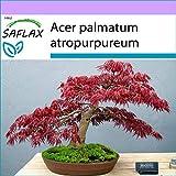 SAFLAX - Arce japons - 20 semillas - Acer palmatum