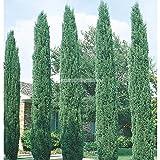 Cupressus sempervirens semillas. 50pcs / semillas de rboles bonsai al aire libre del bolso .Can ser utilizados para el material injertado gnero ciprs.