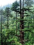 Asklepios-seeds - 50 Semillas de Cedrus deodora Cedro del Himalaya, Cedrus deodara, cedro deodar, cedro de la India