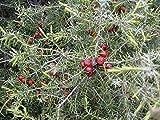 Juniperus oxycedrus  enebro espinoso  10 semillas, fruta, flor, rbol, vid, arbusto, semillas
