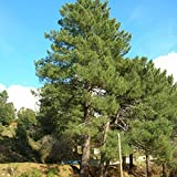 Maritime Pine (Pinus Pinaster) 10 Seeds