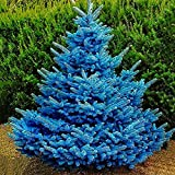 Semillas para plantacin, 100 unidades por bolsa de semillas de abeto azul no transgnico nueva planta anual Picea Pungens Plantas de rboles para jardn - Picea Pungens Seeds