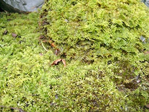 Fern Moss Live for Terrariums, Bonsai and Kokedamas House Plants -...