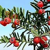 Semillas inglesas de rbol de tejo, 10 unidades de semillas de taxus baccata inglesas, rbol de tejo rojo, fruta bonsai decoracin del hogar y el jardn, Spanish Yew Tree Seeds