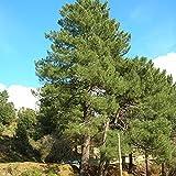 Maritime Pine - Pinus Pinaster - 10 Seeds