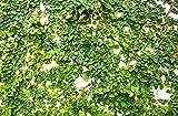 RWS Escalada Ficus 10 semillas (Ficus pumila)