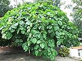 UEYR Fig Roxburgh - 5 Semillas - Ficus auriculata - Elefante Fig odo