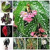 Bloom Green Co. 100 Unids/bolsa Begonia Bonsai Flor Planta Jardn Terraza Exterior Color Hoja Begonia Planta En maceta Familia Jardn Perenne Siembra: mixta