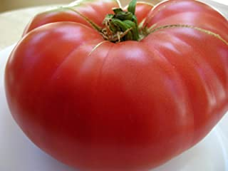 75+ Mortgage Lifter Tomato Seeds- Heirloom Variety- for 2020- by Ohio Heirloom Seeds