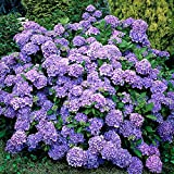 Hydrangea macrophylla'Renate Steinger' | Blue Flowered schrubs | Height 20-30cm | Pot Ø 14cm
