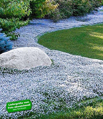 BALDUR-Garten Winterharter Bodendecker Isotoma \'Blue Foot®\' Blauer Bubikopf Gaudich Rasen-Ersatz, 9 Pflanzen Isotoma fluviatilis trittfest