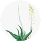 Bulbine Frutescens Leaf Juice