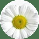 Bellis Perennis (Daisy) Flower Extract