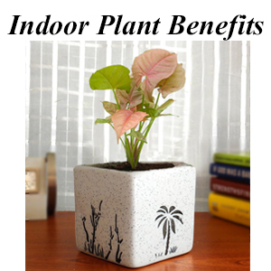 Square Pots, Plants, Fresh, Live, Natural, Indoor, Gift, Houseplants, Air Purifying, Money Plant,
