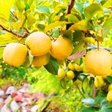 Kapiva,health,wellness,synbiotic,digestion,golden,himachal,apple,cider,vinegar, golden apples