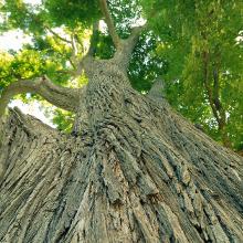 Elm Bark Tree