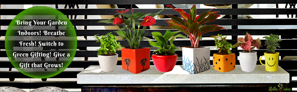 Plants, Fresh, Live, Natural, Indoor, Gift, Houseplants, Air Purifying, Living Room, Good Luck