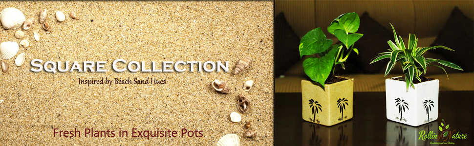 Square Pots, Plants, Fresh, Live, Natural, Indoor, Gift, Houseplants, Air Purifying, Living Room