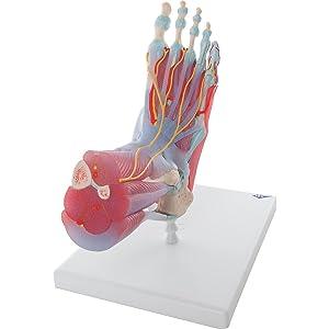 Pé Esqueleto Modelo Ligamentos Músculos modelo anatomia educação médica