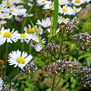 Chamomile and Valerian Root Extract calming herbs in Sleep Supplement