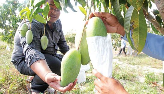 A mango farm manager inspects fruit at a grove in Preah Sihanouk province in 2014.