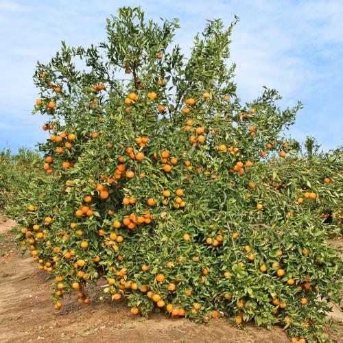 Mandarinier Vente Mandarinier Citrus Reticulata