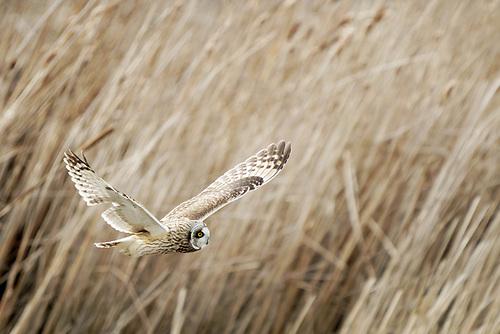 Short-eared owl hunting in marsh, Firs Island, Washington