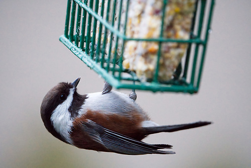 Chestnut-backed chickadee feeding from suet feeder in backyard songbird photography setup