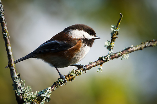 Chestnut-backed chickadee perched on branch