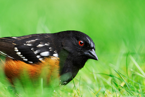 Spotted towhee feeding from ground on grassy lawn