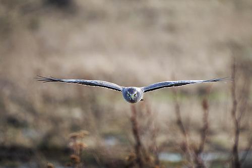 Northern harrier (Circus hudsonius) in flight hunting over wetland, Fir Island, Washington