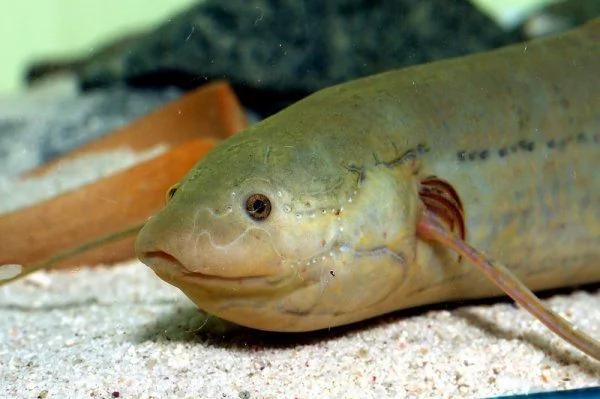 神奇的肺魚:離水不吃不喝可休眠數年 組圖