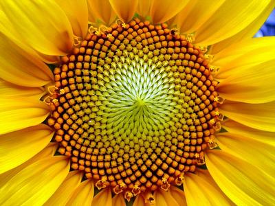 La sucesión de Fibonacci en la naturaleza