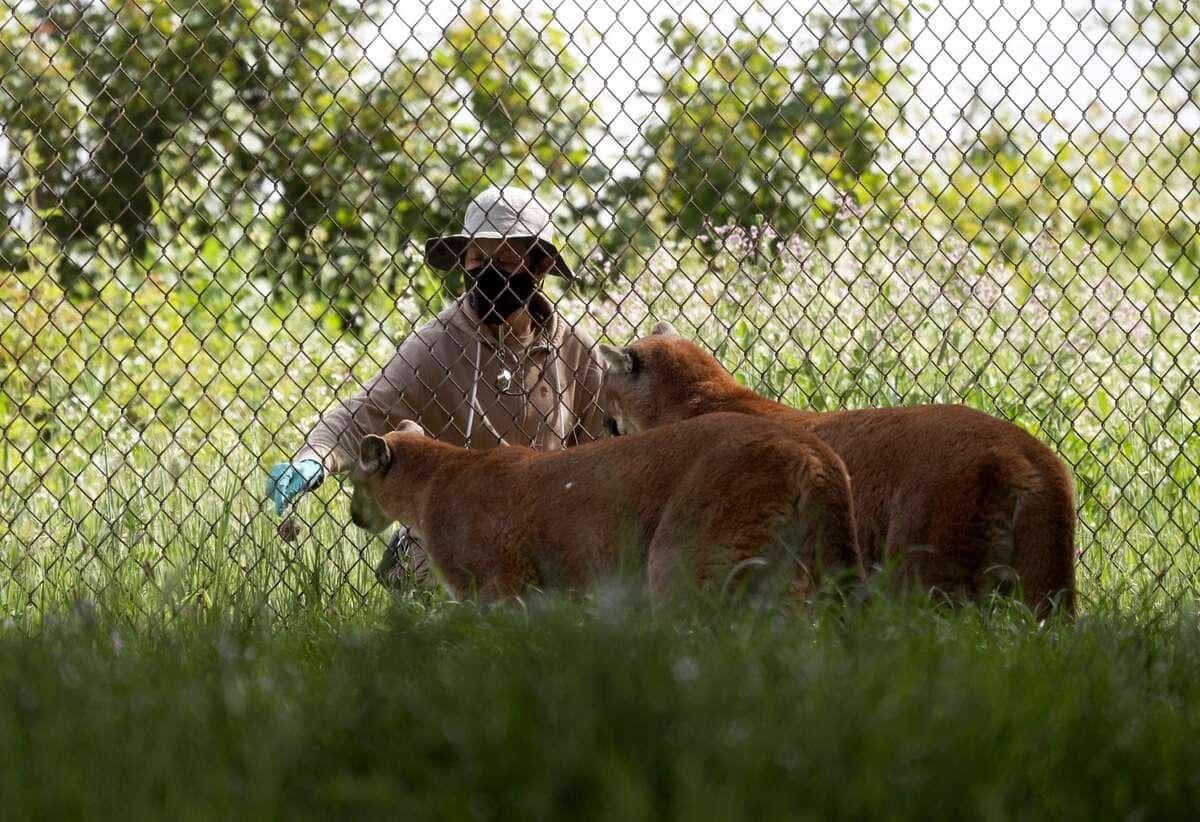 COVID-19: c'est au tour des ours et des lions de se faire vacciner