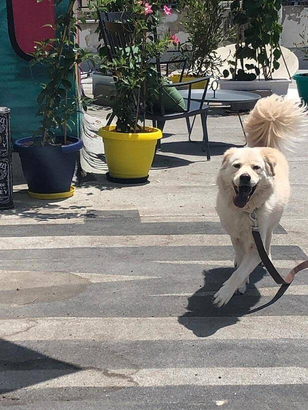 Dog passing the street