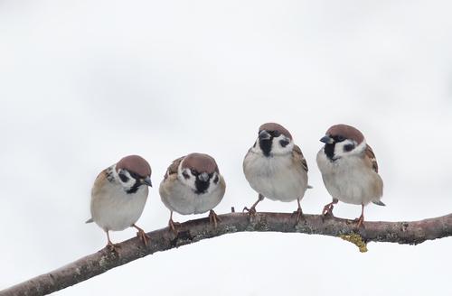 【豆知識】「すずめ」は、実は、珍しい鳥と言う事を知ってますか?