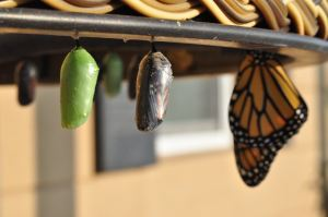 evolution-papillon