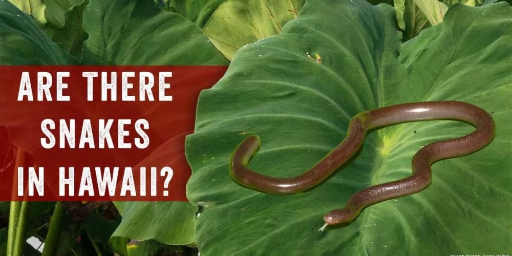 hawaii snakes