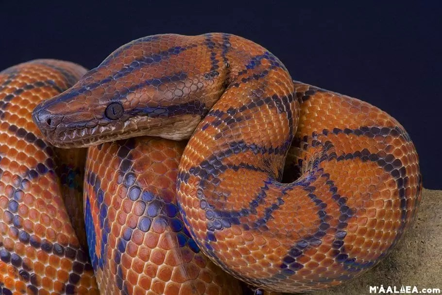 Rainbow boa constrictor